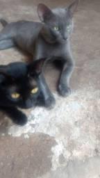 Doação de filhotes lindos de gato ( o pai deles é de raça)