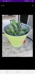 Plantação de aranto muito usada no combate ao câncer, doenças intestinais e diabetes.
