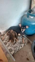 Cachorro da raça pinscher