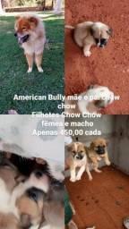 Filhotes de Chow Chow com American Bully