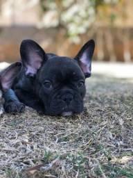 Promção - Bulldog Francês - Portador de Blue
