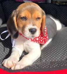 beagle machinho ! a pronta entrega