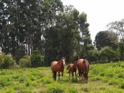 Potra crioula