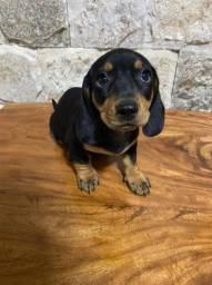 Um amor de Basset dachshund teckel