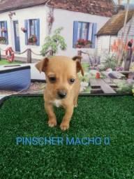 Pinscher a pronta entrega super promoção