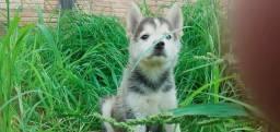 Vendo Filhotes de husky siberiano (femeas)