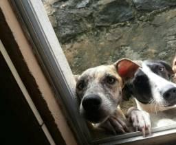 Duas cadelas para adoção responsável