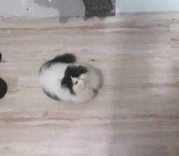 Gato Persa macho sem castrar