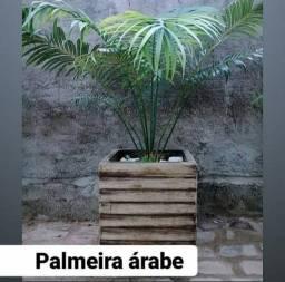 Palmeira Árabe