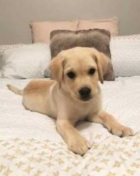 Machinhos e fêmeas de Labrador com pedigree e garantias inclusas!