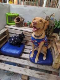 Doação Labrador 3 anos