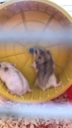 Filhotes hamster
