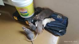 Ratos Twister Mercol e camudongos