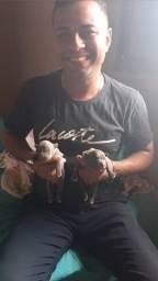 Lindos filhotes Pitmonster pai e mae pedigree sobraci com 7 dias de vida hoje