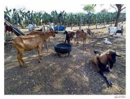 Porto e gado