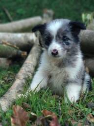 Border collie/ @canilcanaa