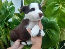 Border Collie - Filhotes Maravilhosos !!!