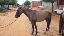 Pra vender egua  de 3 anos, mansa  e andamento macha batida.