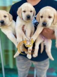 Incríveis filhotes de Labrador