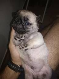 Filhotes de Pug macho e femêa. A partir de $1.100 reais