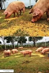 Porcos de cercado