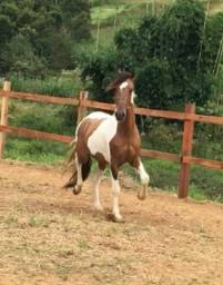 Cavalo pampa mangalarga marchador !