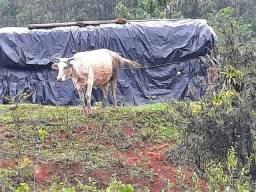 Vaca  pa cria