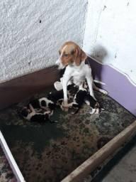 Beagle com fox