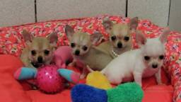 Chihuahua - Machos e Fêmeas