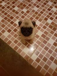 Vende se filhote de Pug fêmea 45 dias de nascido 1300 reais !!