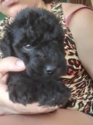 Poodle macho peludinho preto