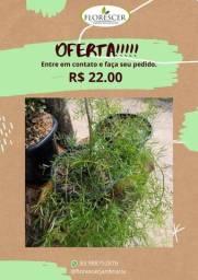 Alfinete planta