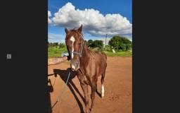 Cavalo Quarto de Milha P.O