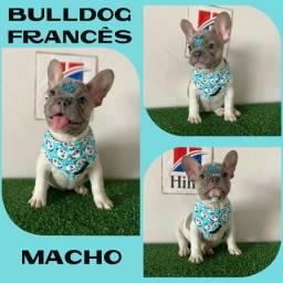 Bulldog Francês Exótico Blue c/ Pedigre - Excelente Linhagem - Microchipado