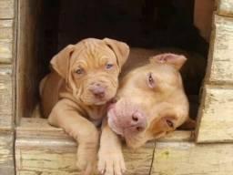 Filhotes de Pitbull com pedigree em 12x!