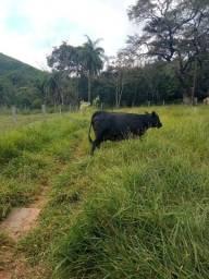 Vaca Angus Pura( Troco)
