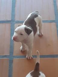 Pitbull Red