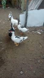 Venda de patos