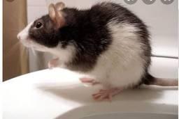Quero adotar ratas twister para pet