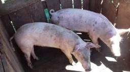 Vende-se 3 porcos
