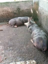 Vendo 09 porcos da raça pietran e mista