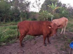 Vendo Lindas Vacas Senepol e cruzamento industrial