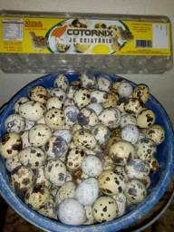 Ovos férteis de codornas