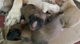 Filhotes (Labrador com Boxer)