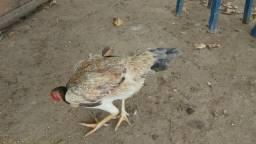 Vendo 4 galinhas pra vim buscar