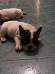 Filhote Femea de Bulldog francês
