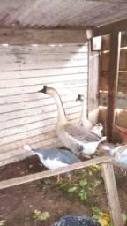 Casal de gansos sinaleira