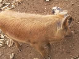 Vendo porca macal criolo