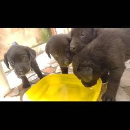 Filhotes Labradores fêmeas pretas