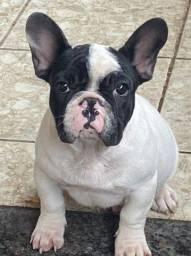 Lindo bulldog francês mascarado